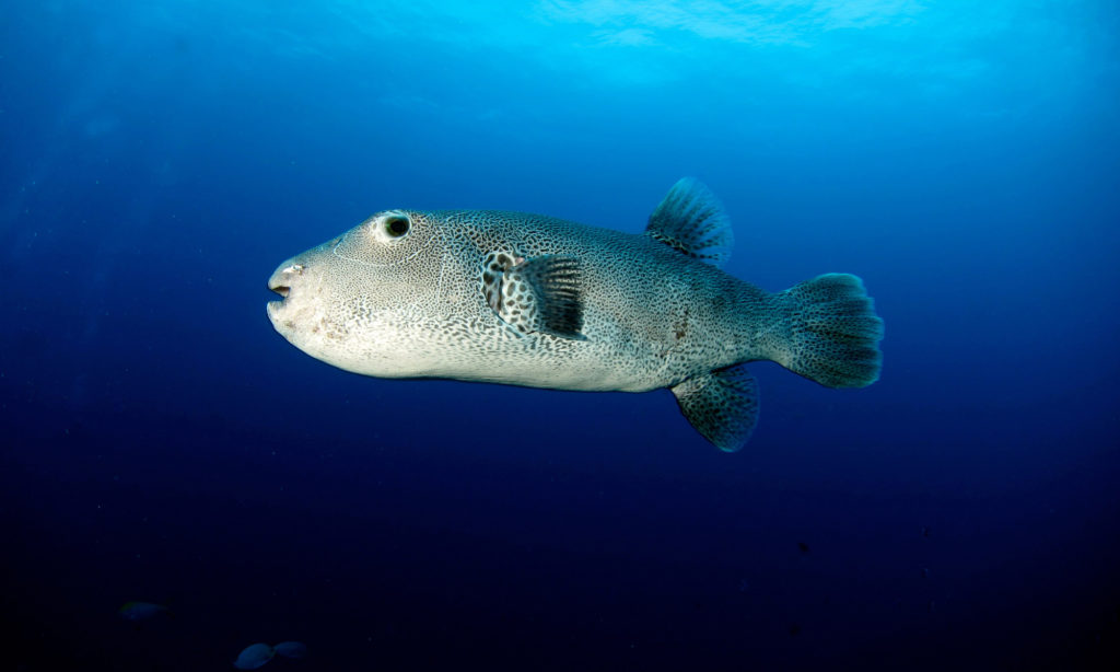 Similan Island snorkelling trips - Puffer Fish