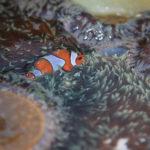 Clown fish at the Similans