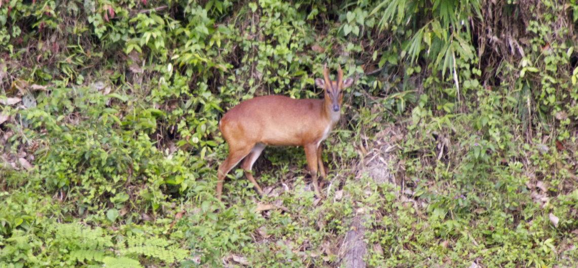Barking Deer in Khao Sok National Park