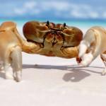 Crabs on Koh Tachai