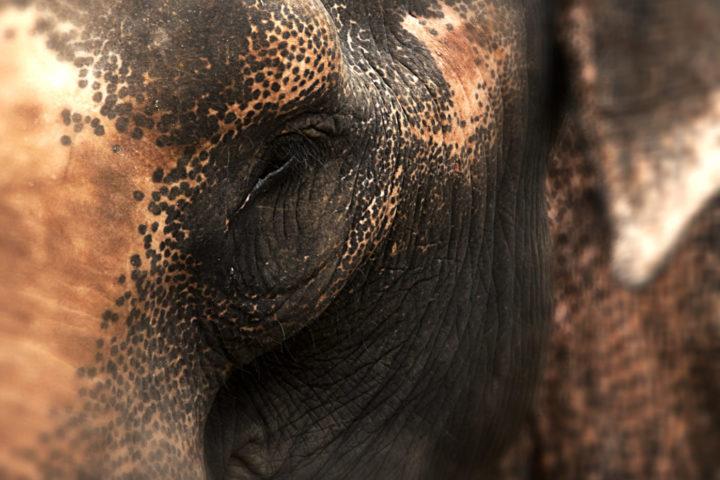 Elephants in Khao Lak