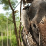 Elephant at Sai Roong Elephant Camp