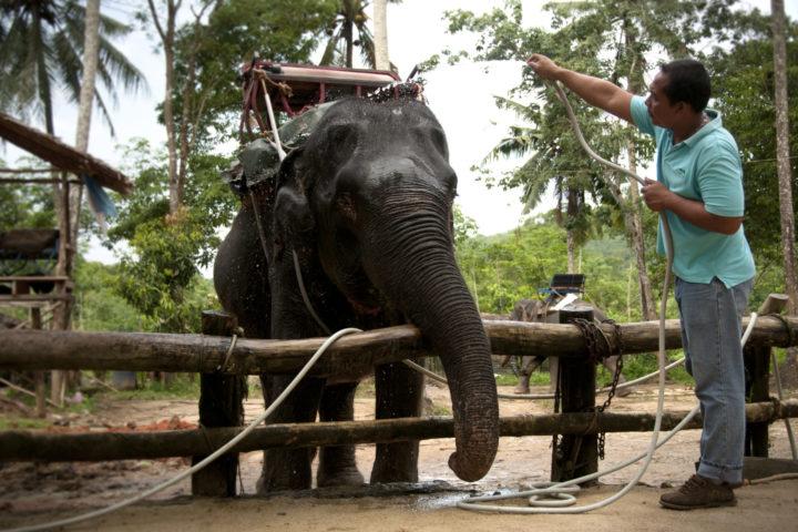 Elephant shower in Khao Lak